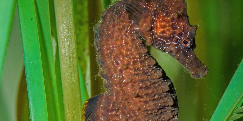 L'hippocampe à museau court dans les herbiers - Hippocampus hippocampus ©Océanopolis
