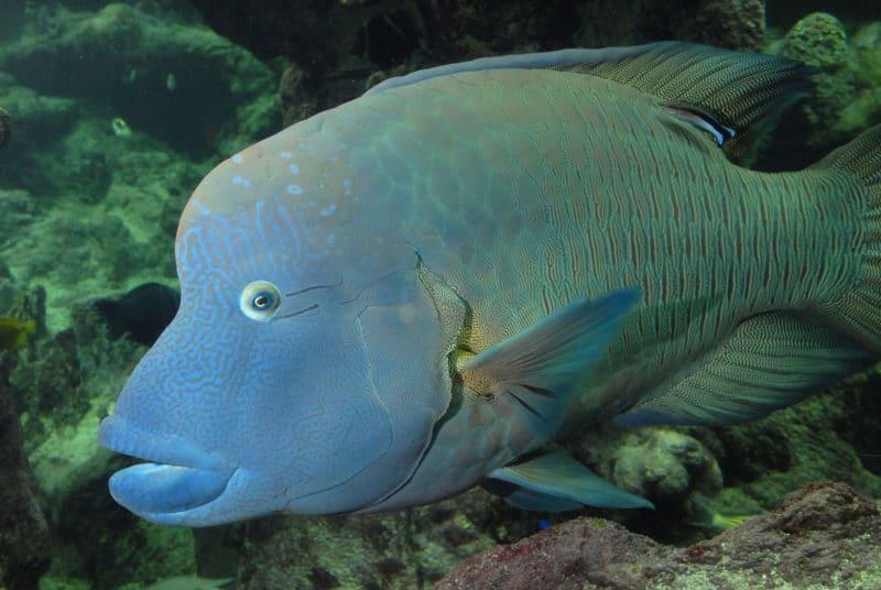 Le poisson Napoléon,Cheilinus undulatus