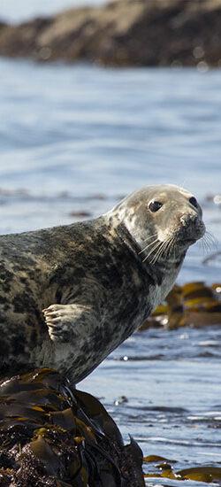 La vie d'un phoque gris en mer d'Iroise