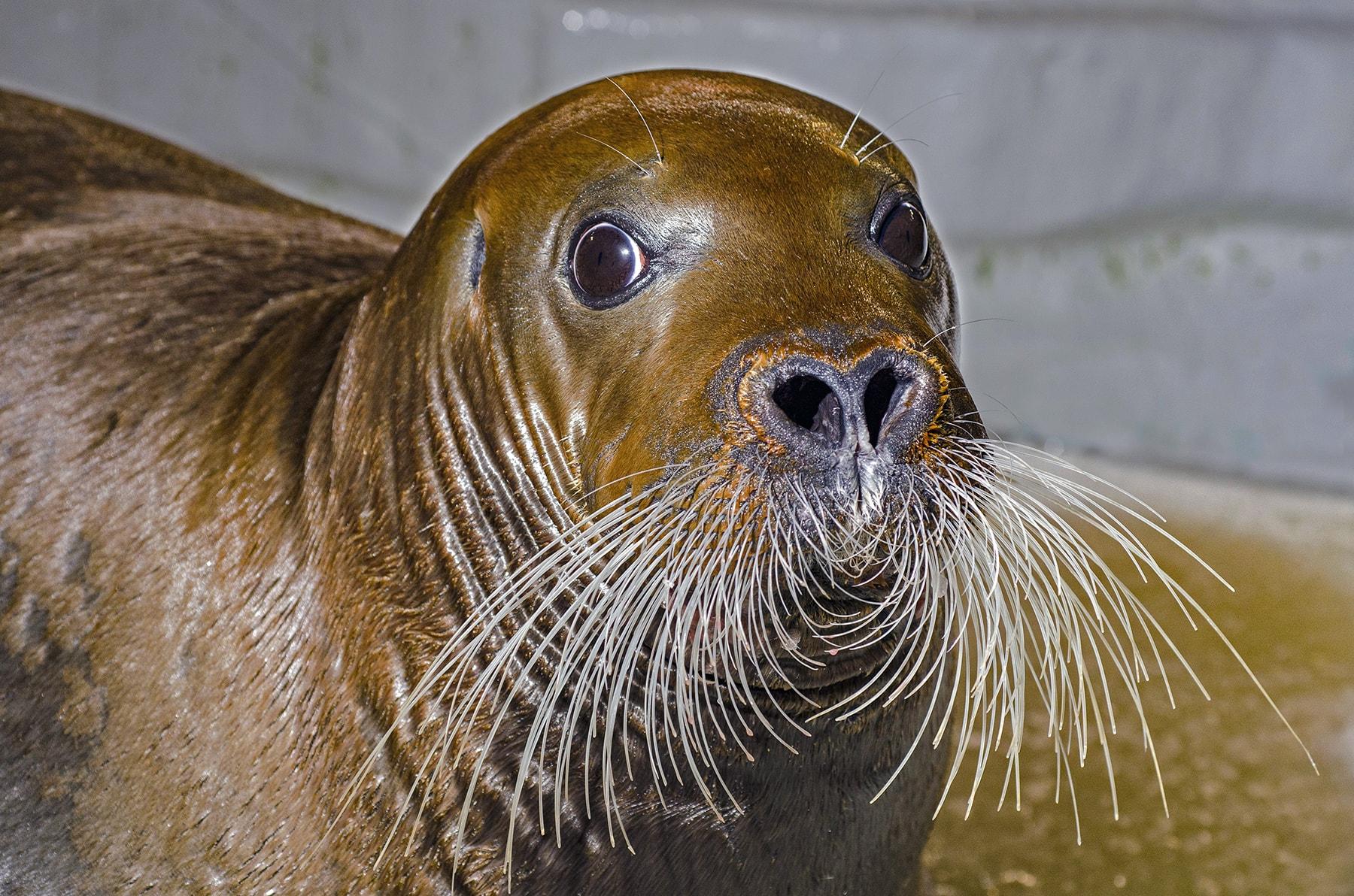 Phoque à moustaches, espèce arctique parmi les plus imposantes et rarement présentées en aquarium.