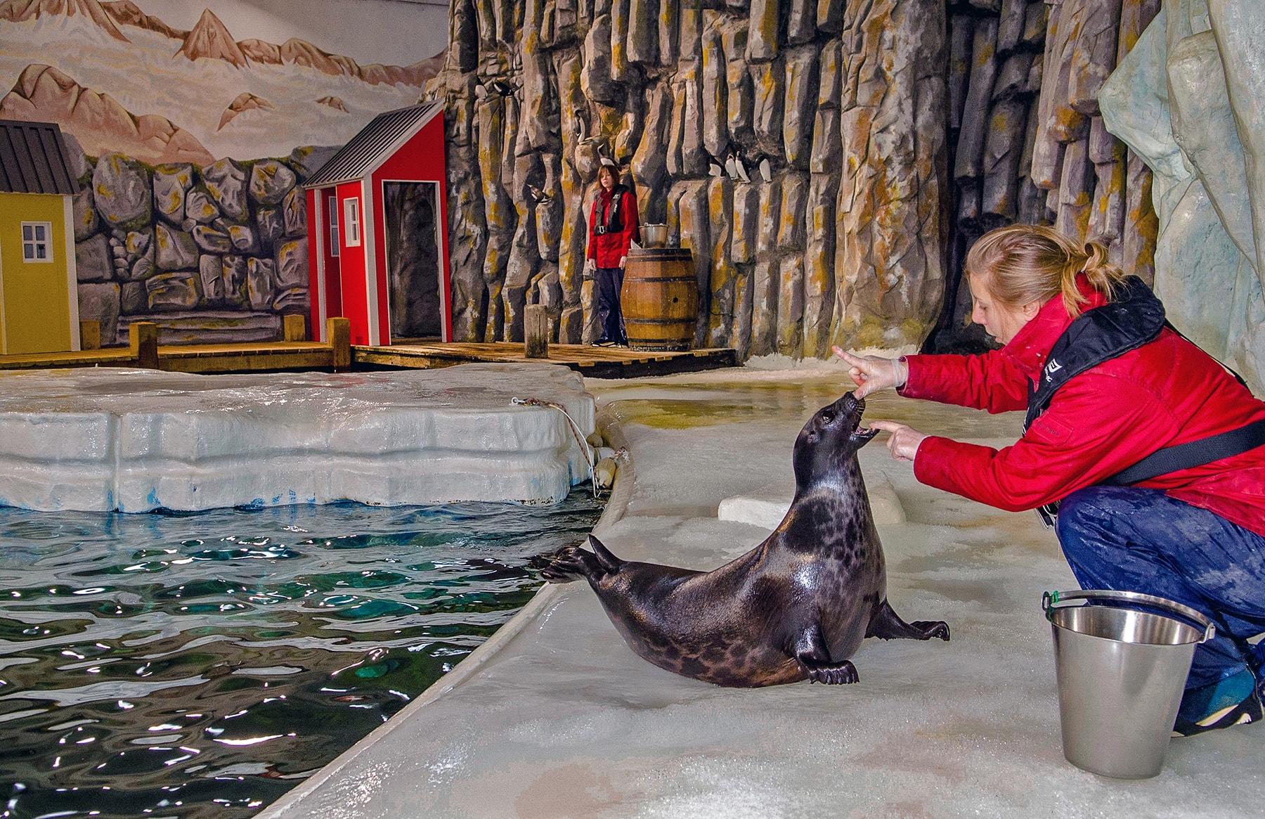 Phoque annelé, espèce arctique.
