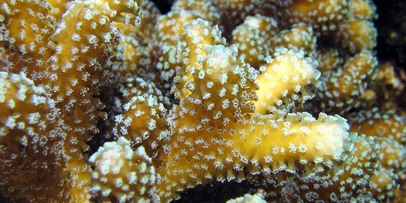 Coraux durs - Stylophora pistillata - © Océanopolis