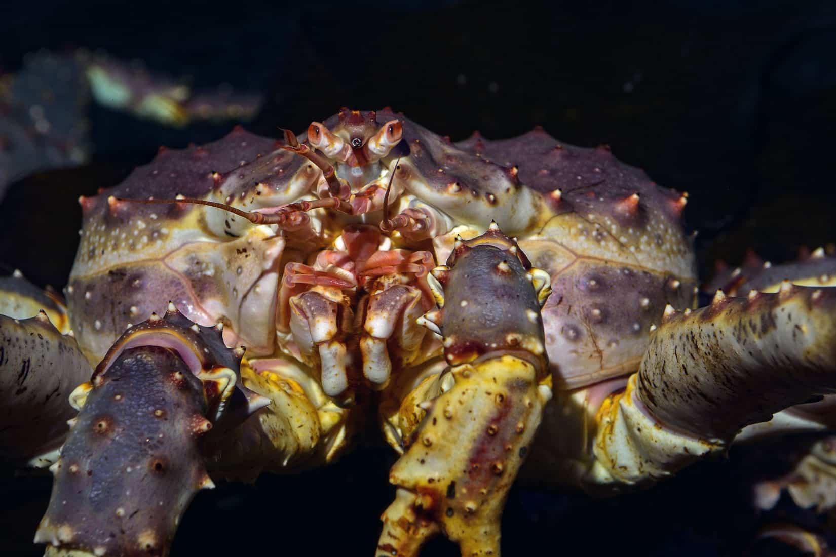 Le crabe royal du Kamtchatcka - Paralithodes camtschaticus