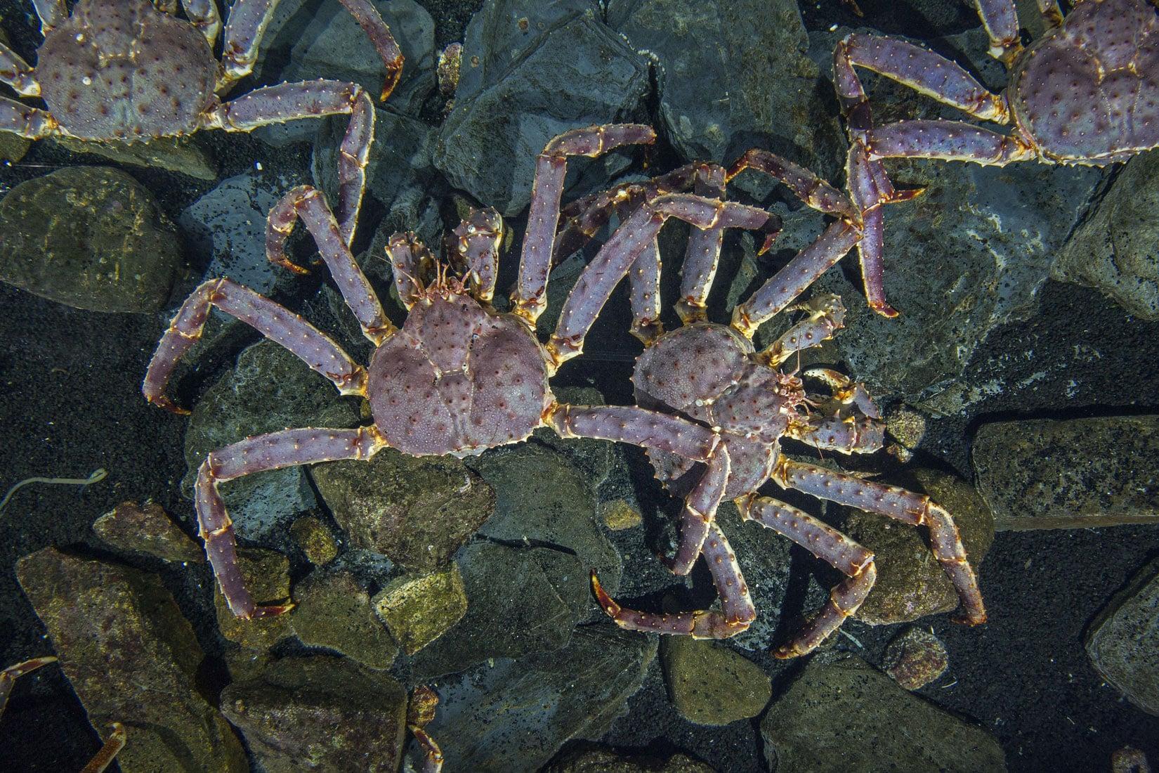 Les crabes royaux du Kamtchatcka - Paralithodes camtschaticus