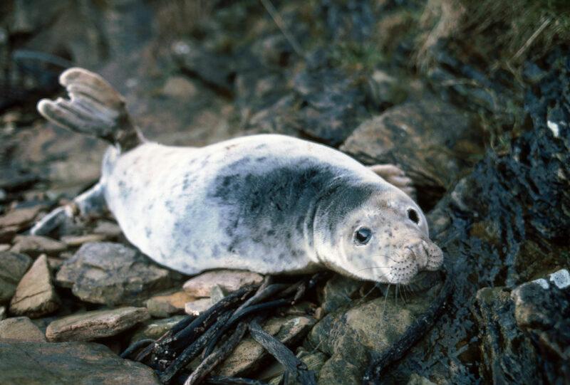 Phoque gris (halichoerus grypus) en milieu naturel - © Océanopolis