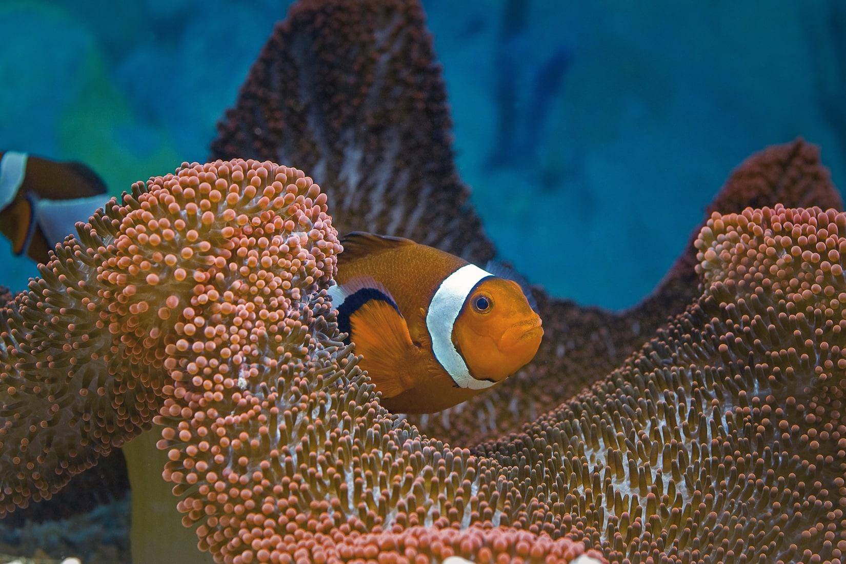 Le poisson-clown et son anémone hôte - Amphiprion ocellaris