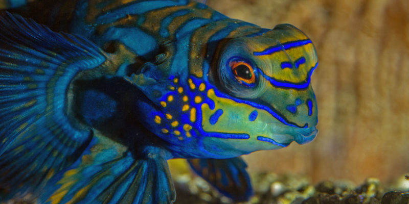 Le poisson Mandarin - Synchiropus splendidus