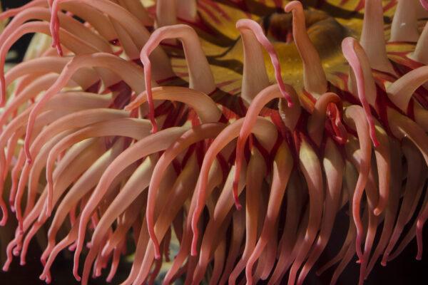 L'anémone polaire ou piscivore - Urticina piscivora © Océanopolis