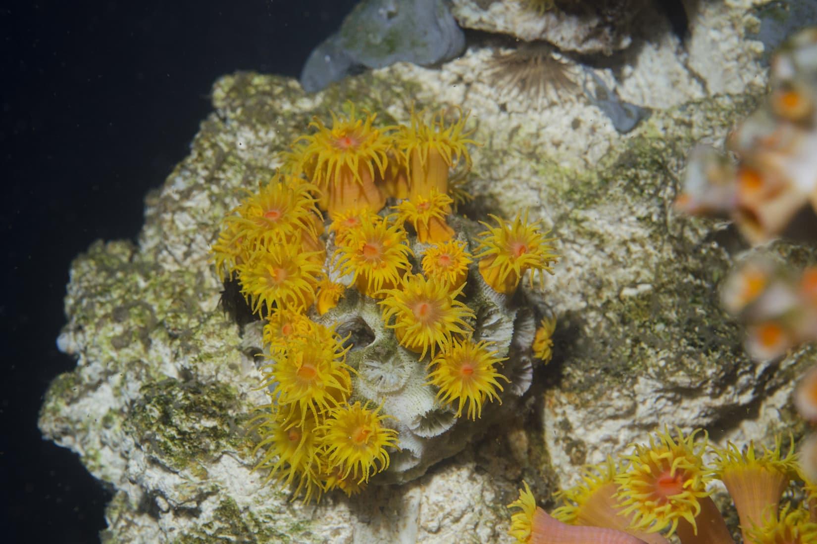 Corail doré - Tubastrea © Océanopolis