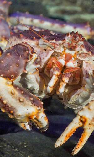 Le crabe royal du Kamtchatka