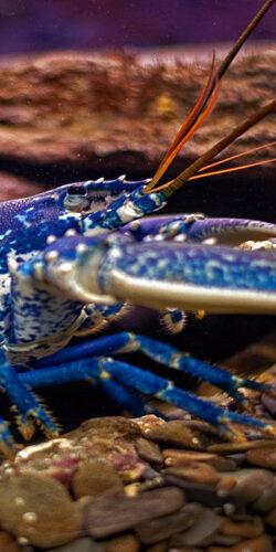 Le homard Européen