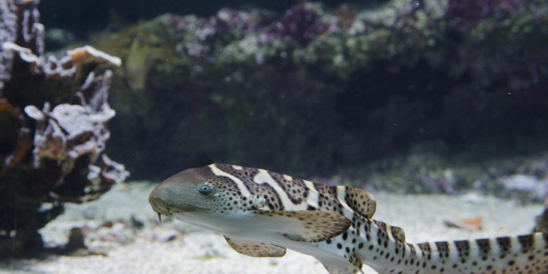 Juvénile de requin-zèbre - Stegostoma fasciatum © Océanopolis