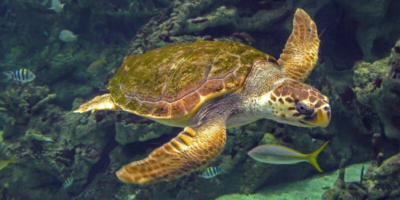 La tortue caouanne © Océanopolis