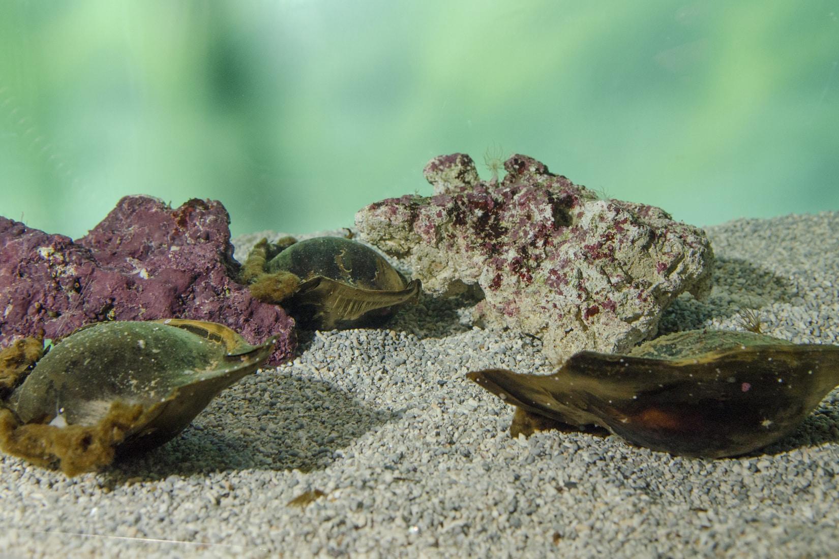 Oeufs de requin zèbre en attente d'éclosion, Stegostoma fasciatum © Océanopolis