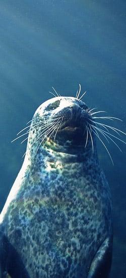 Le phoque  veau marin