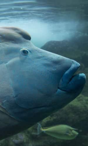 Le poisson Napoléon
