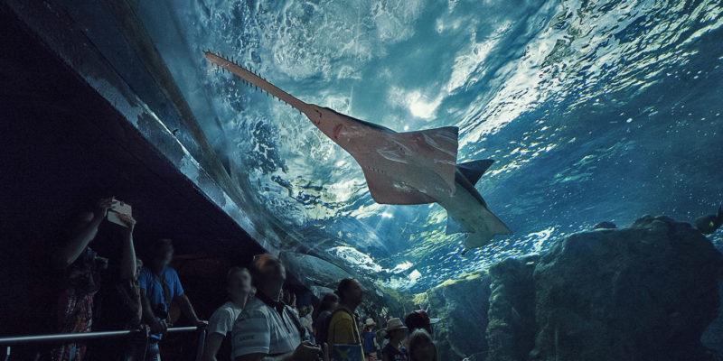 Der Sägefisch - Pristis pristis © Simon Cohen