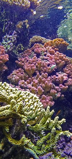 Récifs coralliens en danger !