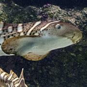 Le requin-zèbre