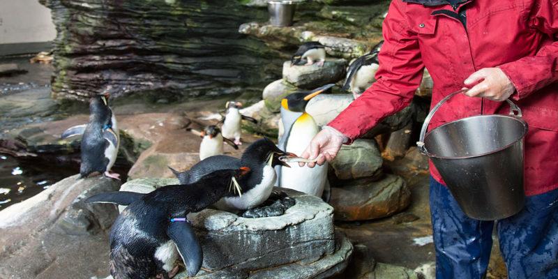 Nourrissage des manchots à Océanopolis © Océanopolis