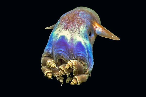 La pieuvre Dumbo - Dumbo grimpoteuthis