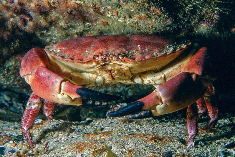 Crabe dormeur (Cancer Pagurus) - © Océanopolis