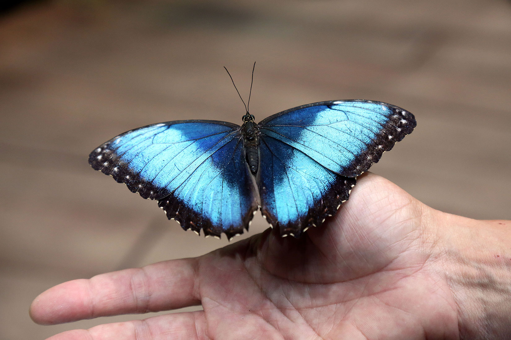 Papillon Morpho - © Océanopolis