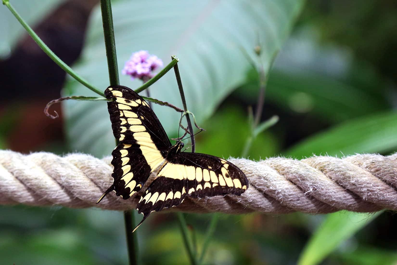 Papillon Voilier Géant - © Océanopolis