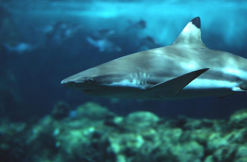 Requin à Pointe Noire (CARCHARHINUS MELANOPTERUS) - Copyright Océanopolis