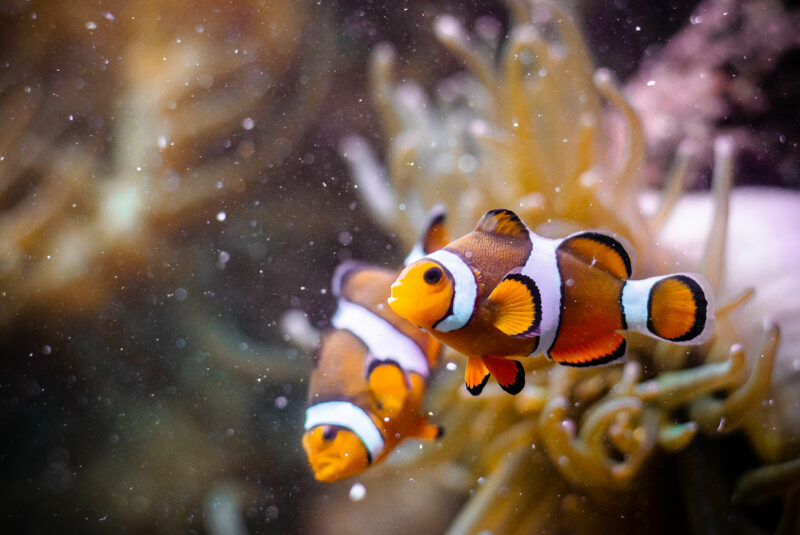 Poisson clown à trois bandes (AMPHIPRION-OCELLARIS) - © Julien Froc