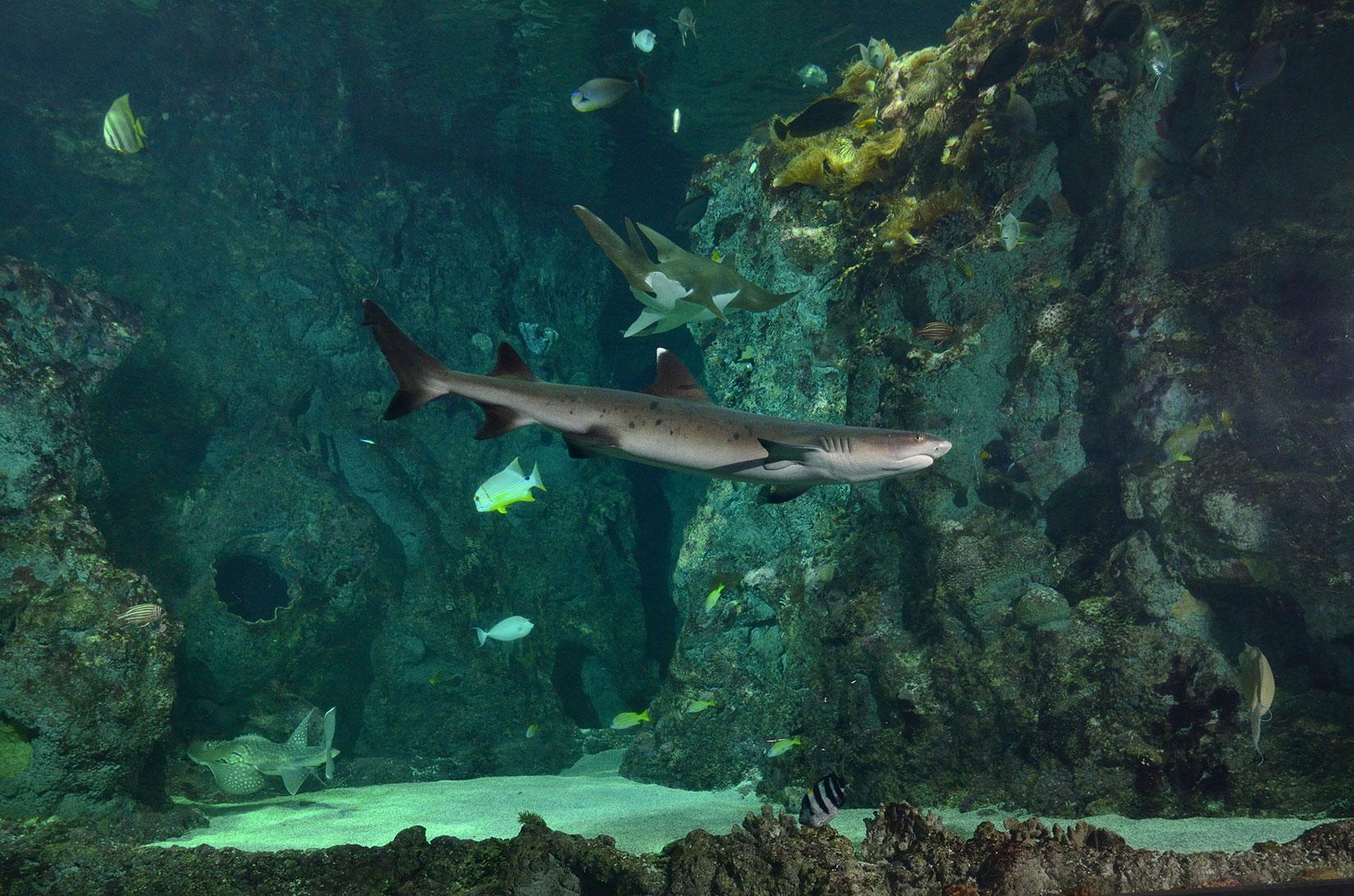 Requin pointe blanche (Triaenodon obesus) - © Océanopolis