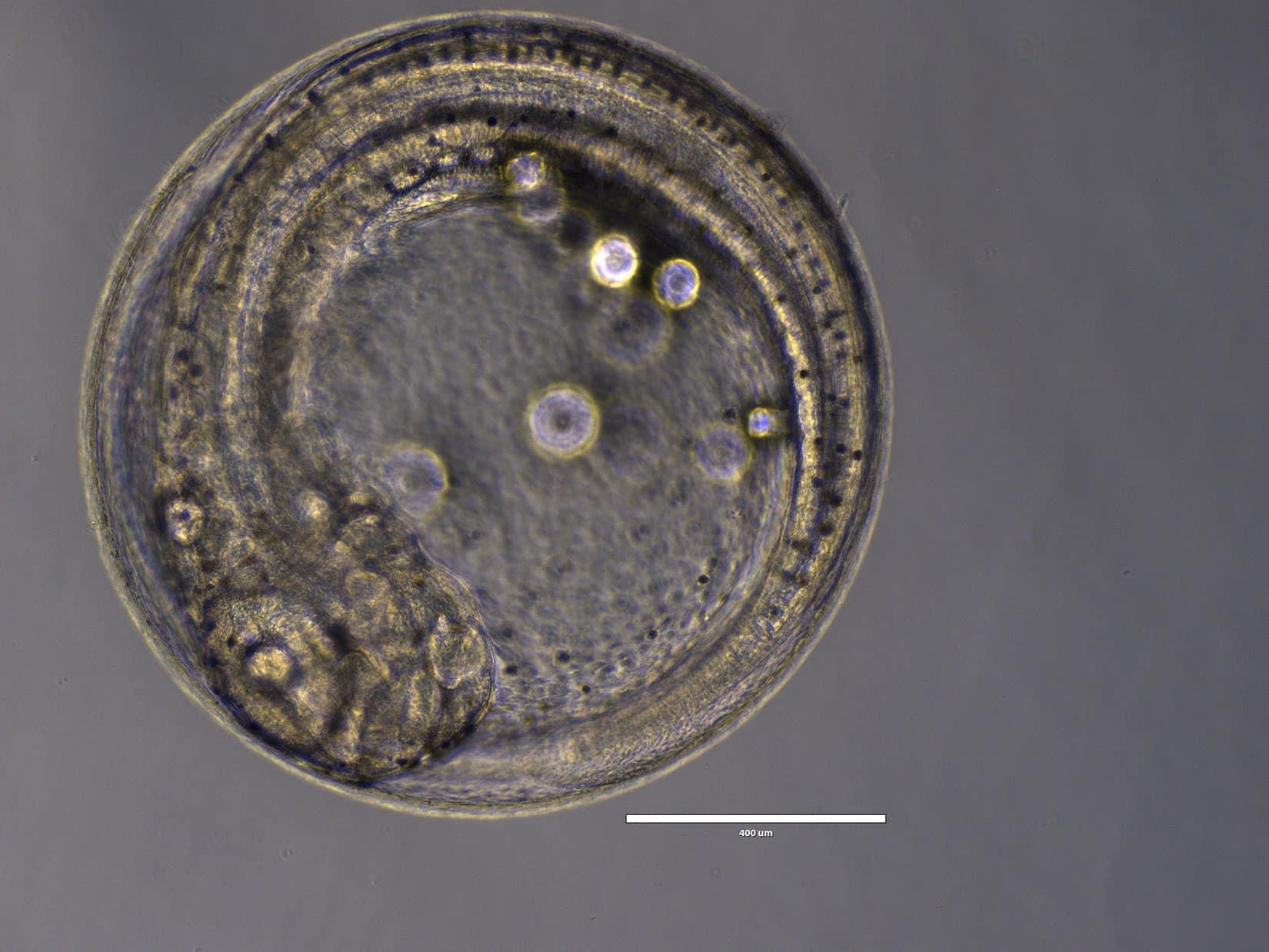 Oeufs de poisson hachette nain (Parapriacanthus ransonneti) - © Océanopolis